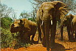 Click here to enlarge image and see more about item cs5110: East African Game Elephants  Rhinoceros Postcard cs5110