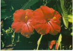 Hibiscus from Hawaii Postcard cs5295