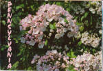 Click here to enlarge image and see more about item cs5409: Mountain Laurel, Pennslyvania State Flower