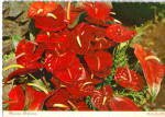 Click here to enlarge image and see more about item cs5418: Hawaiian Anthurium Postcard cs5418