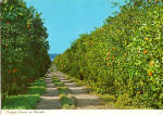 Orange Groves in Florida cs5431