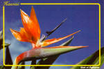 Click here to enlarge image and see more about item cs5541: The Bird of Paradise Hawaii cs5541