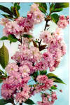 Click here to enlarge image and see more about item cs5714: Kanzan Cherry Tree in Blossom cs5714
