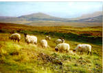 Highland Black Face Sheep Postcard cs6134