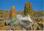 Hawaii's Rare Silversword