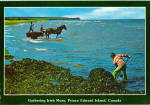 Click here to enlarge image and see more about item cs6167: Gathering Irish Moss Prince Edward island canada cs6167