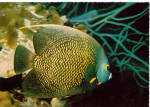 Click here to enlarge image and see more about item cs6292: French Angelfish Postcard cs6292