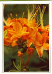 Click here to enlarge image and see more about item cs6352: Flame Azalea Postcard cs6352