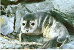 Click here to enlarge image and see more about item cs6381: Harbor Seal Pup Postcard cs6381