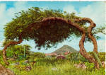 Click here to enlarge image and see more about item cs6444: Divi Tree, Aruba Postcard cs6444
