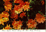 Click here to enlarge image and see more about item cs6465: Flame Azaleas along Blue Ridge Parkway Postcard cs6465
