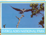 Click here to enlarge image and see more about item cs6506: Osprey Everglades National Park FL cs6506
