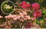 Click here to enlarge image and see more about item cs6733: Pensylvania State Flower Mountain Laural and Rhododendron cs6733