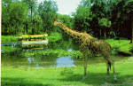 Click here to enlarge image and see more about item cs6915: Giraffe at Florida s Silver Springs Postcard cs6915