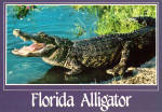 Click here to enlarge image and see more about item cs6947: Florida Alligator Postcard cs6947