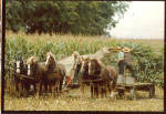 Amish with Teams of Belgians Harvesting Corn cs7024
