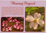 Click here to enlarge image and see more about item cs7050: Dogwood Blossoms Postcard cs7050