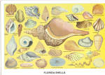 Florida Shells Postcard cs7265