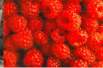 Red Rasberries From Sand Hill Farms, Advertizing