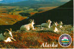 Click here to enlarge image and see more about item cs7400: Dali Sheep, Denali National Park, Alaska