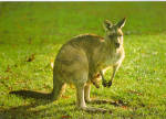 Click here to enlarge image and see more about item cs7434: Great Gray Kangaroo Postcard cs7434