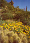 Golden Poppies Brightens a Desert Hillside cs7706