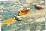 Click here to enlarge image and see more about item cs7988: Seals on Icebergs in Alaskan Waters Postcard cs7988