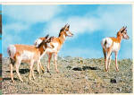 Click here to enlarge image and see more about item cs8030: Group of Pronghorns Postcard cs8030