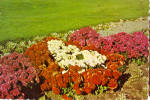 Click here to enlarge image and see more about item cs8034: Sterling Forest Gardens Tuxedo New York Jewel Bed Mums cs8034