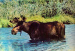Click here to enlarge image and see more about item cs8085: Alaska Moose Postcard cs8085