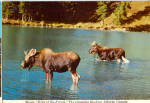 Click here to enlarge image and see more about item cs8086: Northwestern Moose Postcard cs8086