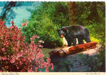 Yearling Black Bear Postcard cs8089