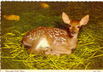 Whitetail Fawn Postcard cs8091