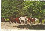 Click here to enlarge image and see more about item cs8618: A Lot of  Florida Bull Postcard cs8618
