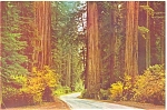 Autumn in the Redwoods Postcard