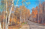 Click here to enlarge image and see more about item lp0037: Majestic Birch Trees in Autumn Postcard