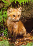 Click here to enlarge image and see more about item lp0549: Red Fox Kit Large Postcard lp0549