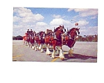 Click here to enlarge image and see more about item may3330: Budweiser Clydesdales Postcard