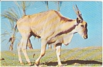 Click here to enlarge image and see more about item n0039: Addax Tote Em In Zoo Postcard