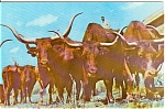 Click here to enlarge image and see more about item n0042: Long Horn Cattle Postcard