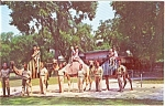 Click here to enlarge image and see more about item n0071: Camels at Henry Vilas Park Zoo   Postcard