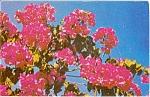 Crimson Bougainvillea FL Postcard