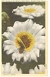 Click here to enlarge image and see more about item n0219: Sahuaro Cactus Blossom Postcard n0219