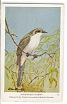 Click here to enlarge image and see more about item n0236: Black Billed Cuckoo Audubon Postcard n0236