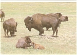 Click here to enlarge image and see more about item n0286: Buffalo North American Bison Postcard