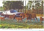 Click here to enlarge image and see more about item n0358: Lion Country Safari FL  Lion Family Postcard n0358