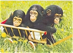 Click here to enlarge image and see more about item n0364: Munich Germany Tierpark Chimpanzees Postcard n0364