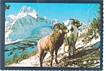 Click here to enlarge image and see more about item n0557: Montana Mountain Sheep Postcard