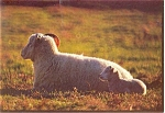 Click here to enlarge image and see more about item n0578: Sheep Ewe and Lamb Postcard n0578