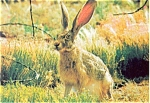 Click here to enlarge image and see more about item n0594: Desert Jack Rabbit Postcard n0594